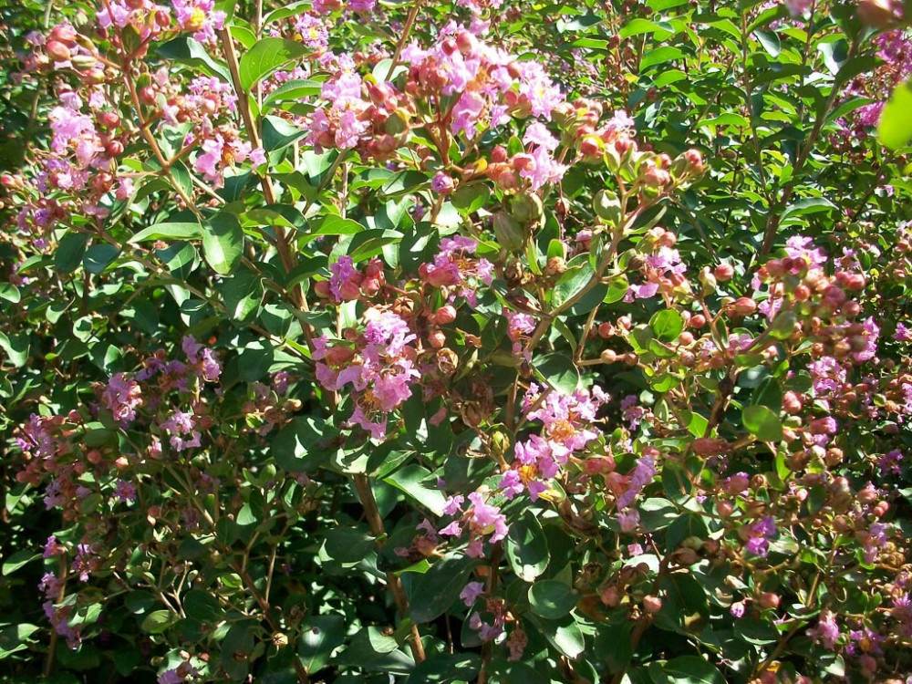 Lagerstroemia indica Petite Orchid-Lagerstroemia Nana
