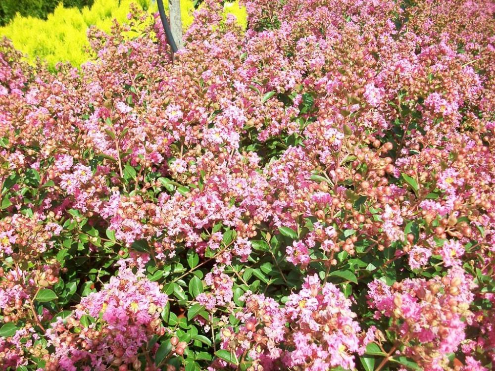 Lagerstroemia indica Petite Pink-Lagerstroemia nana rosa