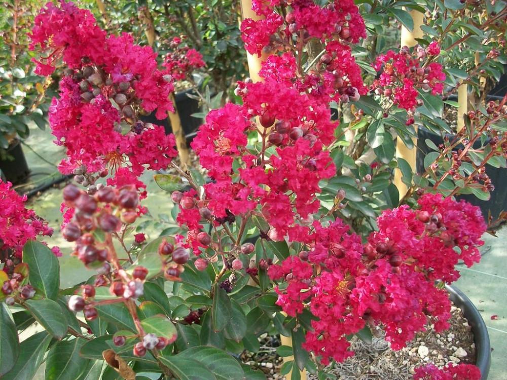 Lagerstroemia indica Red Imperator-Lagerstroemia nana rossa