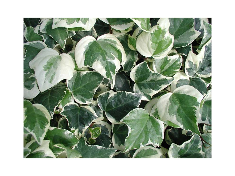 Hedera algeriensis Gloire de Marengo- Edera variegata