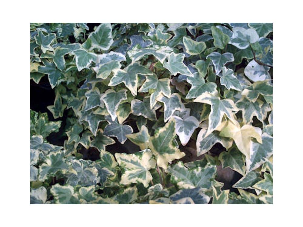 Hedera helix Elegantissima-Edera variegata bianca