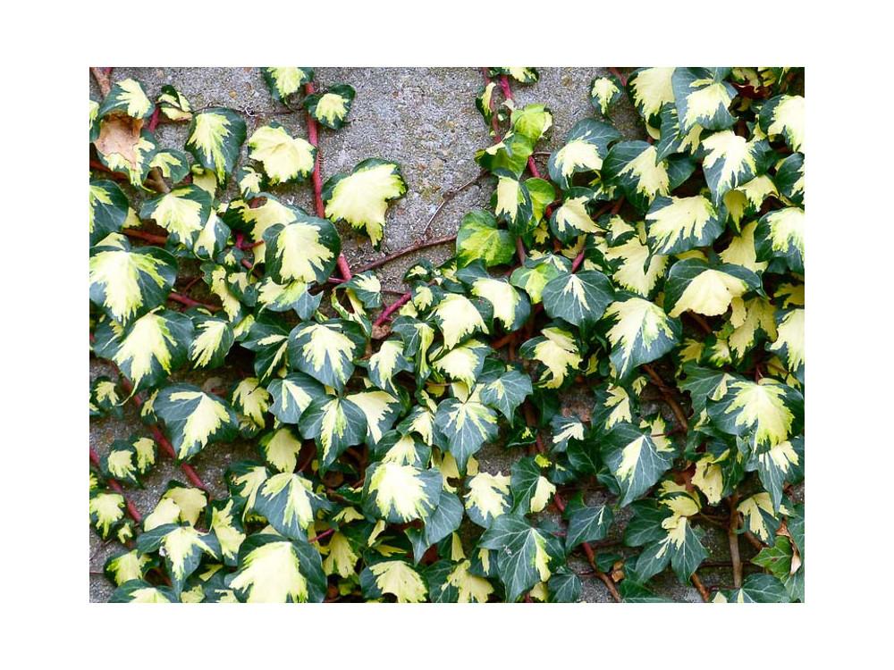 Hedera helix Oro di Bogliasco o Goldheart Edera variegata gialla