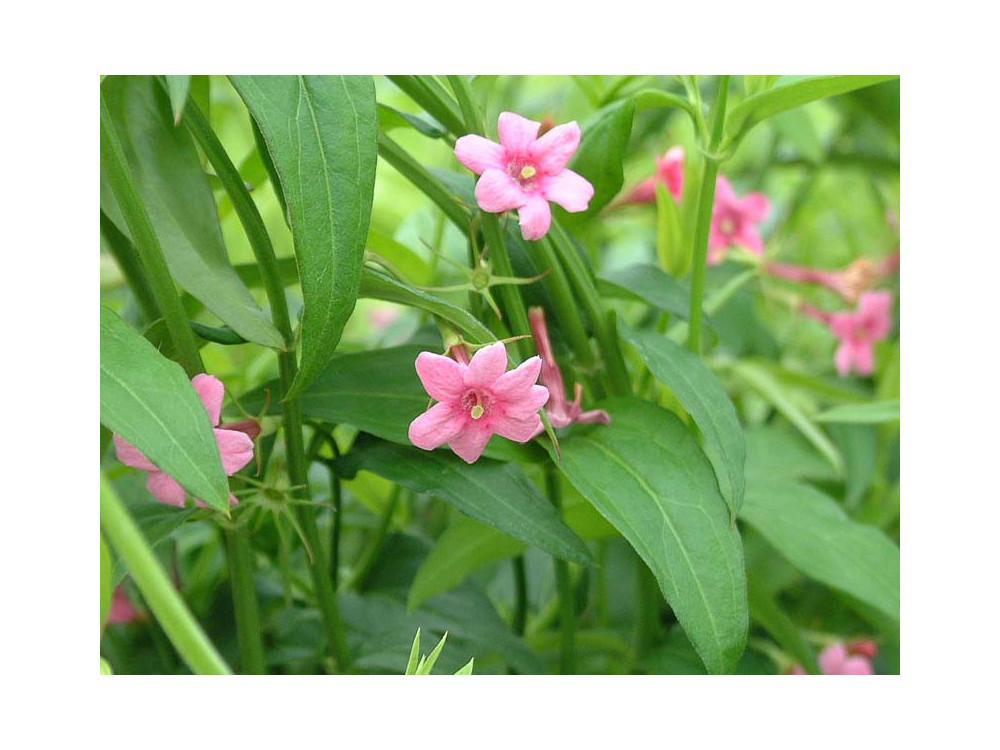 Jasminum beesianum-Gelsomino rosa