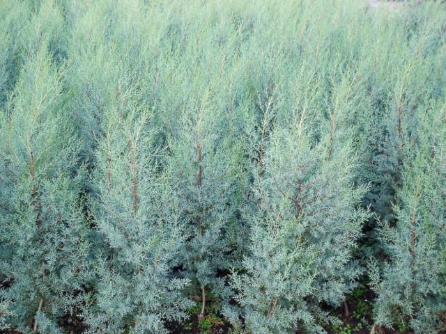 Cupressus arizonica Fastigiata-Cipresso di Arizona-Cipresso blu