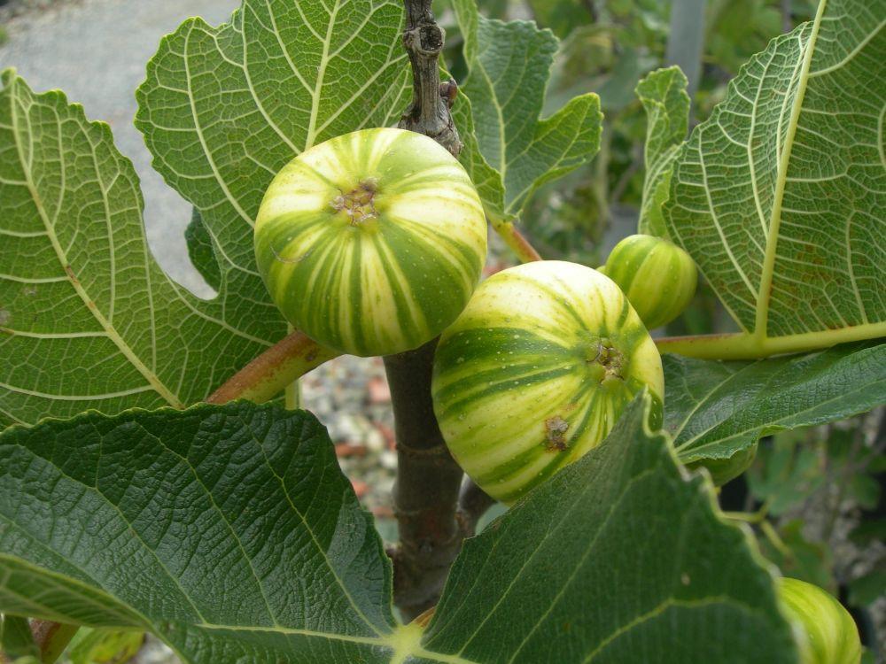 Ficus carica Panachee-Fico tigre