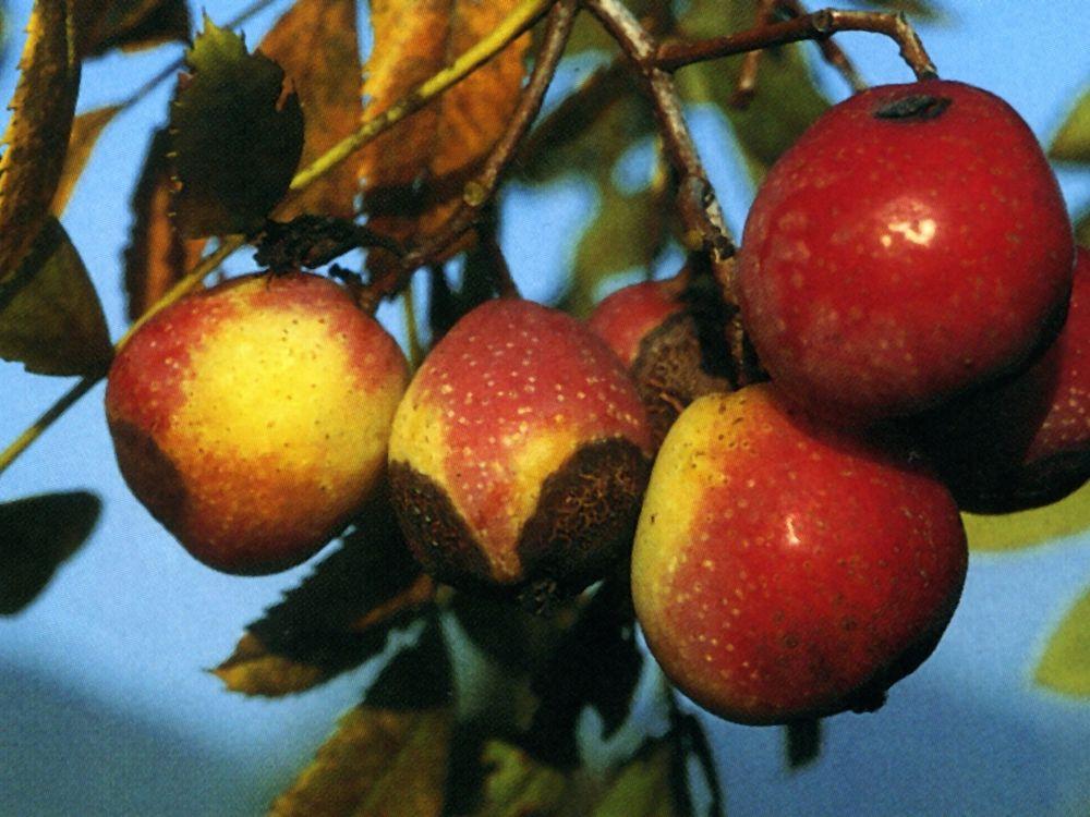 Sorbus domestica-Sorbo comune