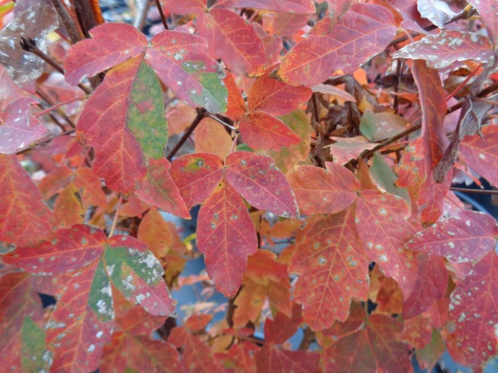 Acer griseum-Paperbark Maple