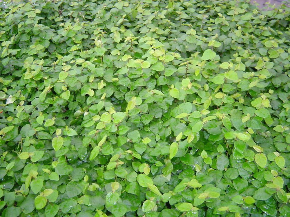 Ficus repens- Ficus pumila