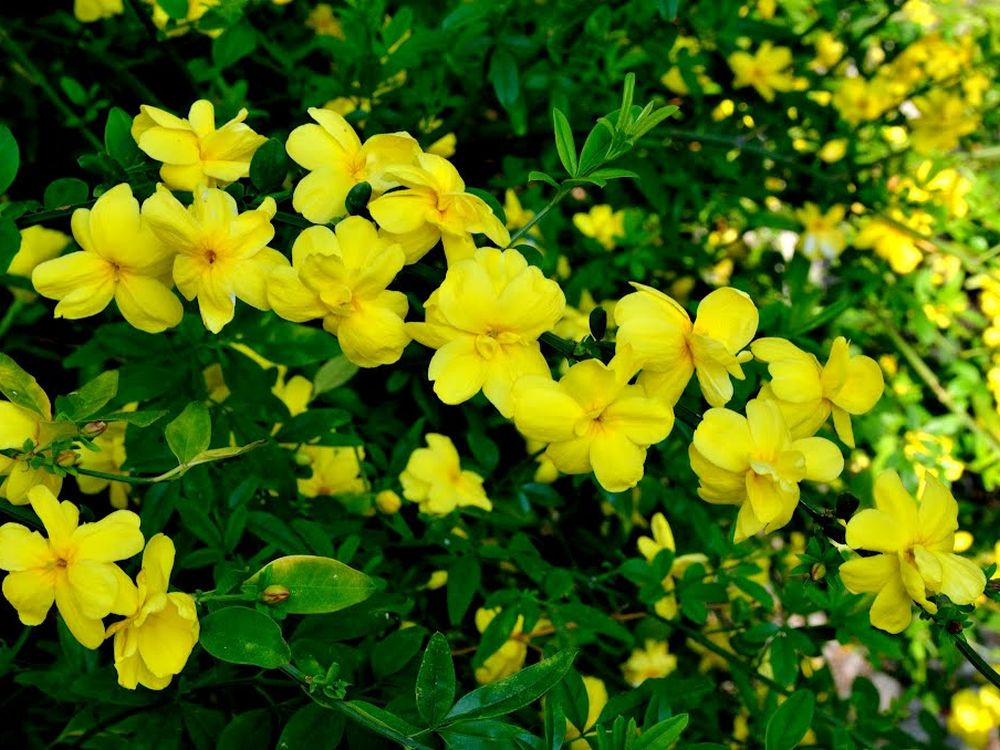 Jasminum primolinum-Jasminum...