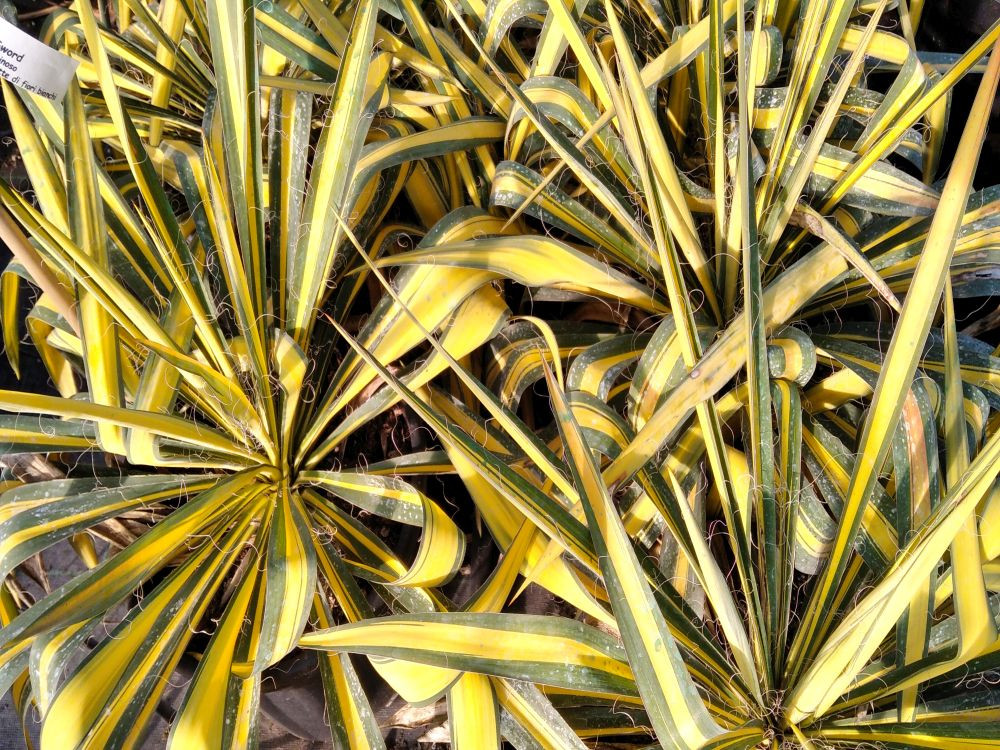 Yucca filamentosa Golden Sword