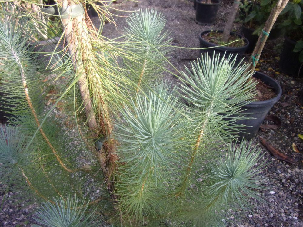 Pinus canariensis-Pino delle Canarie