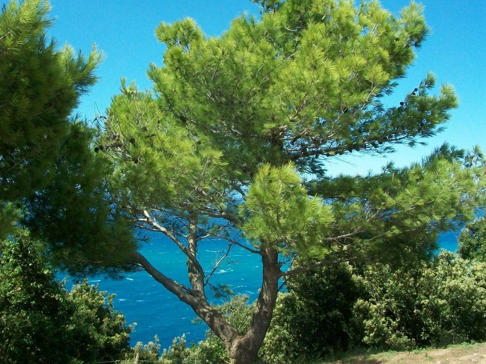 Pinus halepensis-Pino d'Aleppo