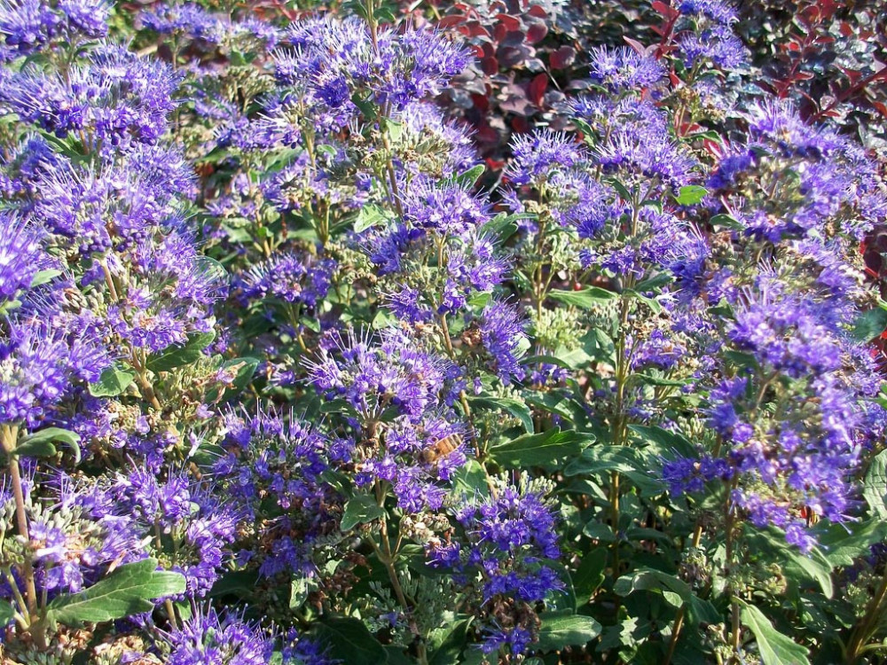 Caryopteris mastacanthus Grand Blue