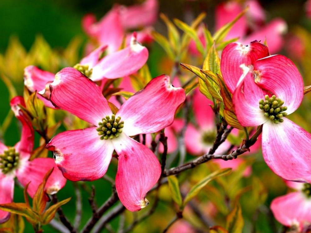 Cornus florida Cherokee Sunset-Corniolo-Dogwood
