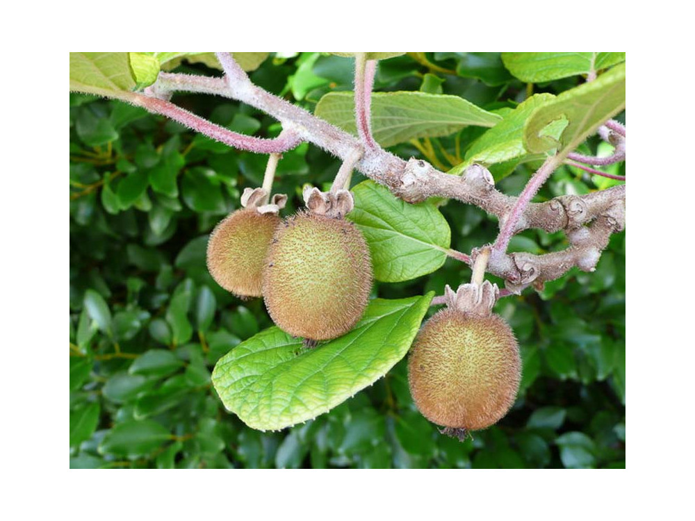 Actinidia chinensis Solo-Kiwi autofertile