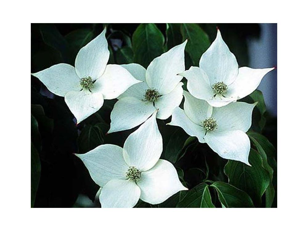 Cornus kousa Schmetterling-Corniolo da fiore-Dogwood