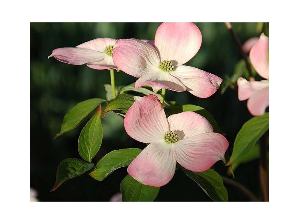 Cornus x Rutgersensis Rutgan Stellar Pink