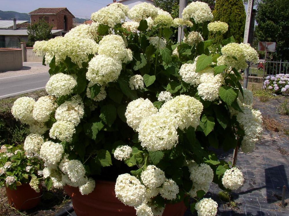 Hydrangea arborescens Annabelle-Ortensia