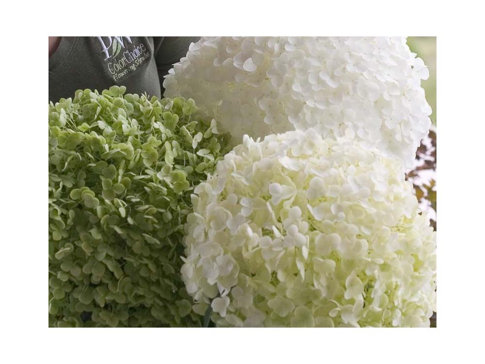 Hydrangea arborescens Incrediball-Ortensia
